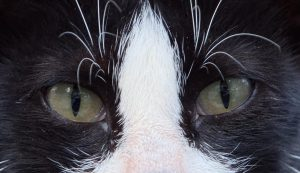 Der von Katzen übertragene Toxoplasmos-Erreger kann möglicherweise das Verhalten infizierter Menschen verändern. Ganz unumstritten ist diese These allerdings nicht (c) Frank Luerweg