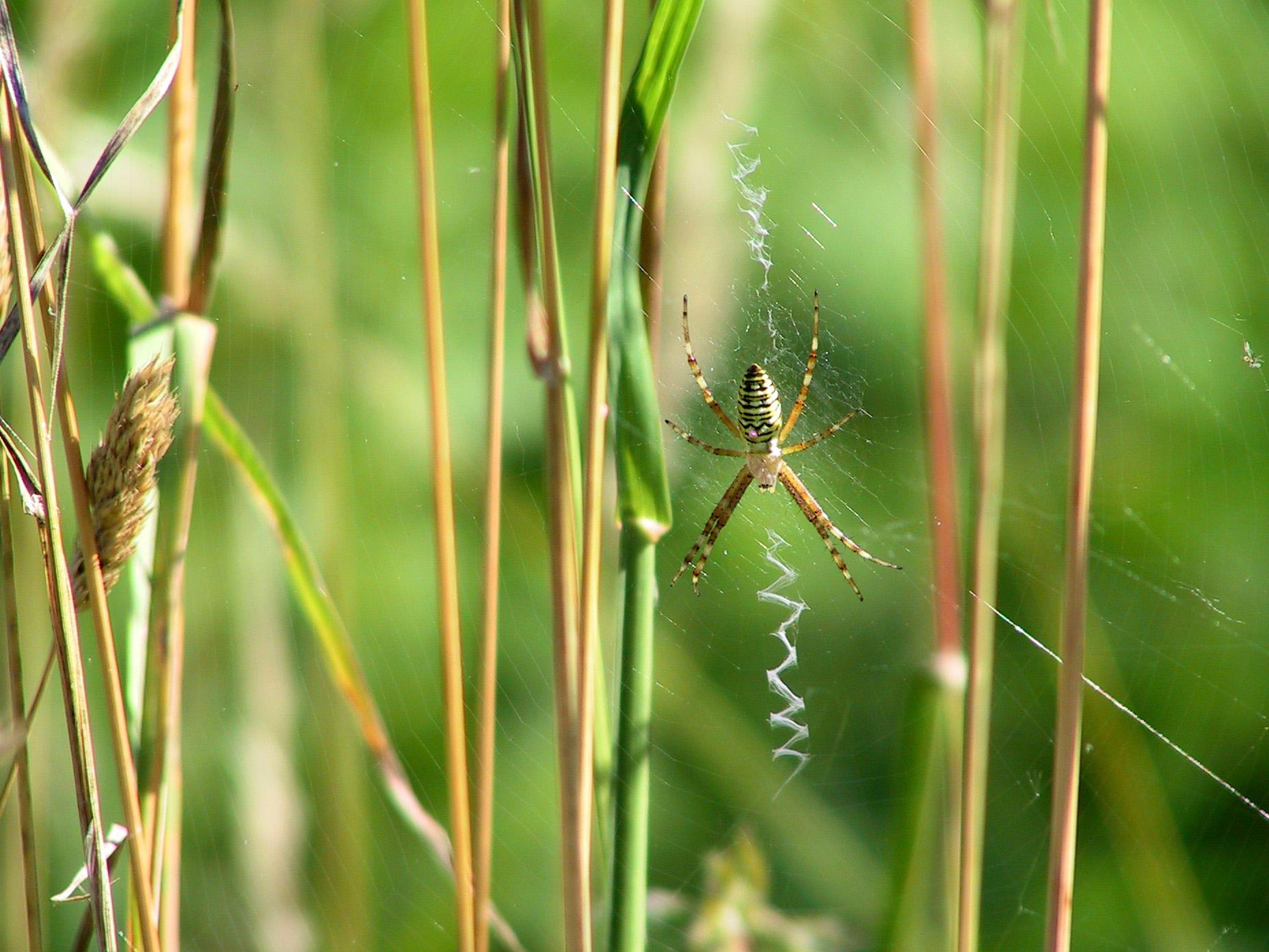 Männliche Wespenspinnen legen ihren Partnerinnen nach der Kopulation einen Keuschheitsgürtel an (c) Frank Luerweg