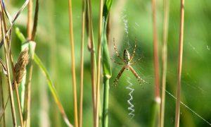 """Männliche Wespenspinnen werden beim Geschlechtsakt häufig von ihren Partnerinnen verspeist. Dadurch verlängern sie die Kopulation - und erhöhen so ihre Chancen in der """"Spermien-Lotterie"""". Das Foto zeigt ein weibliches Tier. (c) Frank Luerweg"""